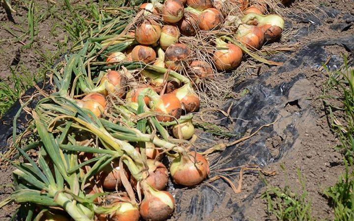 新玉ねぎの収穫。 土岐市家庭菜園検索