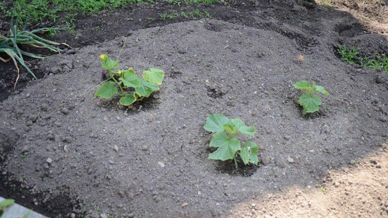 夏野菜の成長記録。 土岐市Sun坪農園検索