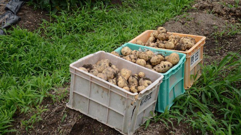 新ジャガイモ収穫。 土岐市家庭菜園検索