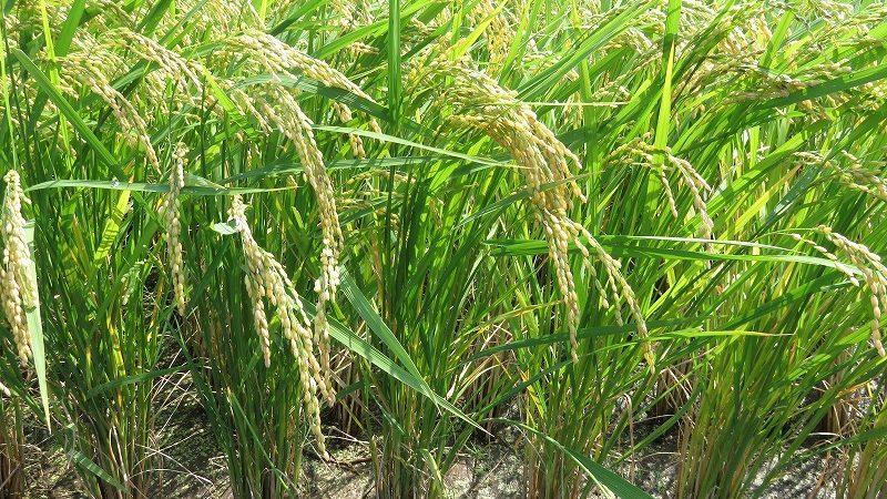 もうすぐお米の収穫!