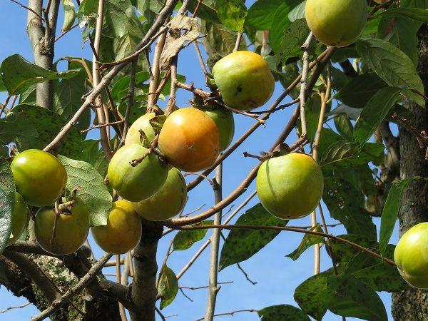 美味しい柿はヘタの観察を