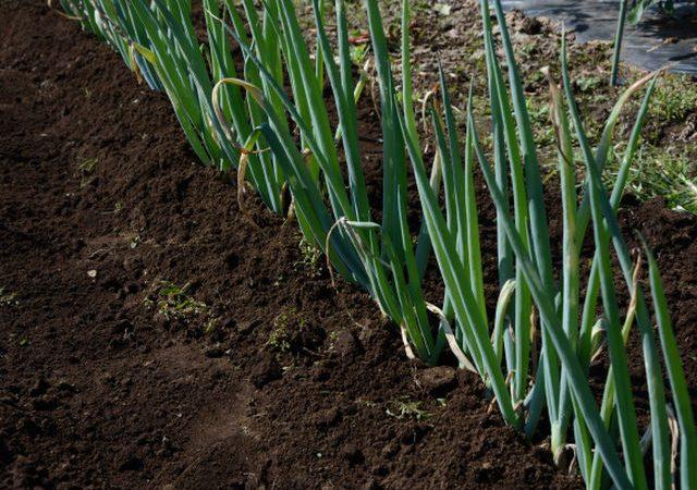 長ネギの苗の植え替えシーズンです!